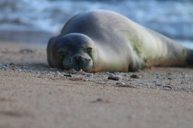 """HAWaiian MOnk seal FROM WISE OWLS DONNA AND NATALIE"