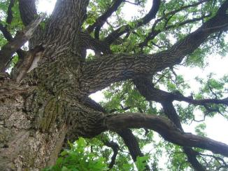 OAK TREE TAKEN BY WISE OWL JACKIE