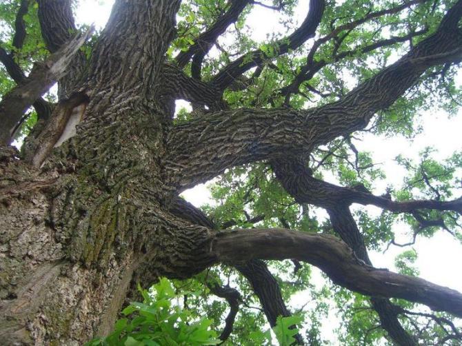 OAK TREE TAKEN BY WISE OWL JACKIE