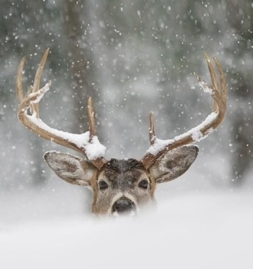 IN HONOR OF THE REINDEER. SENT IN A LONG TIME AGO BY WISE OWL MARIE.
