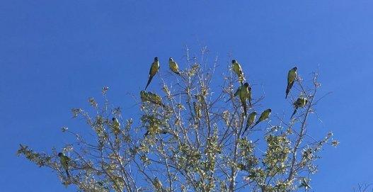 """FLORIDA WILD PARROTS"" TAKEN IN TARPON SPRINGS, FLORIDA BY WISE OWL ANNA"