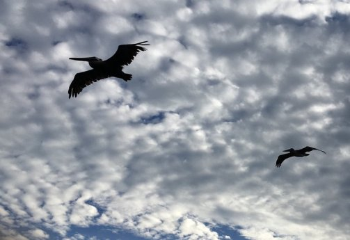 """PELICANS IN FLIGHT"" TAKEN BY WISE OWL ANNA IN FLORIDA"