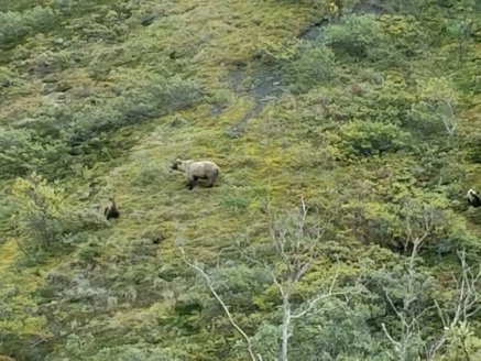 MOTHER GRIZZLY BEAR WITH CUBS. Denali, ALASKA. TAKEN BY WISE OWL LUCKY