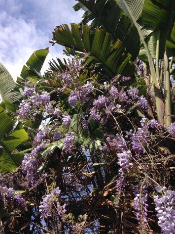WISTERIA IN THE PALM TREE TAKEN IN URUGUAY BY WISE OWL JAN