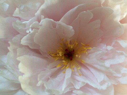 """HEART OF A PEONY"" TAKEN BY WISE OWL NESLIN"