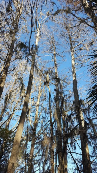 """WHISPERING WINTER CYPRESS TREES"" TAKEN in florida by wise owl brenda"