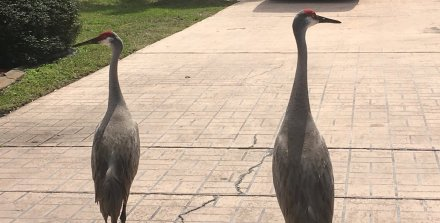 """SANDHILL CRANES"" TAKEN BY WISE OWL ANNA"