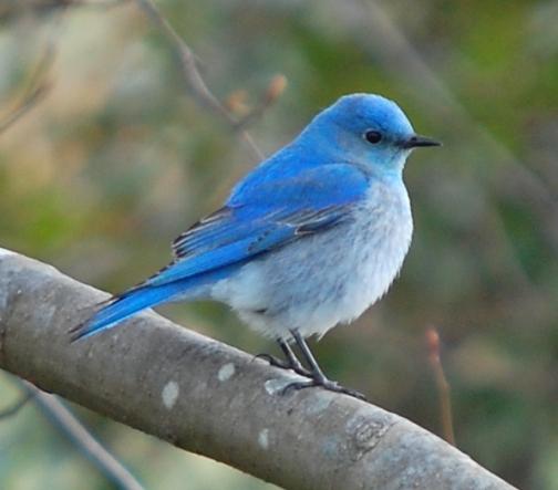 Mountain Blusbird