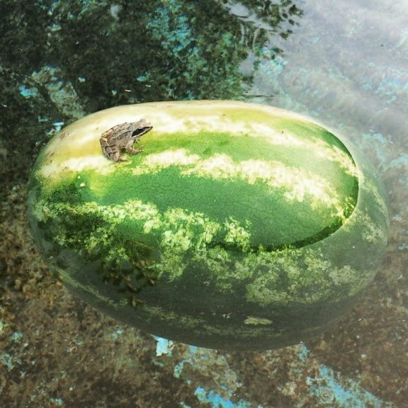 A Frog floating on a watermelon in a pond-in bulgaria thanks to roland for this picture