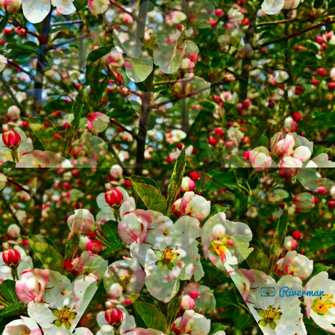 Apple Blossom Illusion