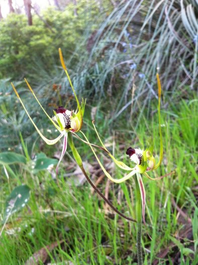 """AUStralian spider orchids"" taken by wise owl kate"